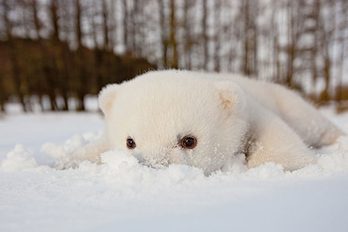animals-and-first-snow-baby-polar-bear-2
