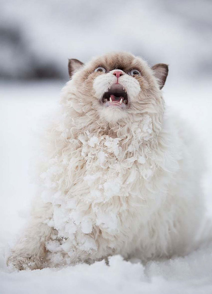 animals-and-first-snow-persian-cat-2