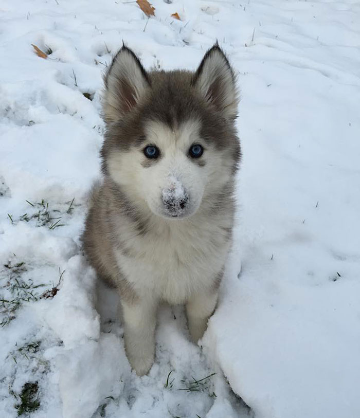 animals-and-first-snow-puppy-husky__700