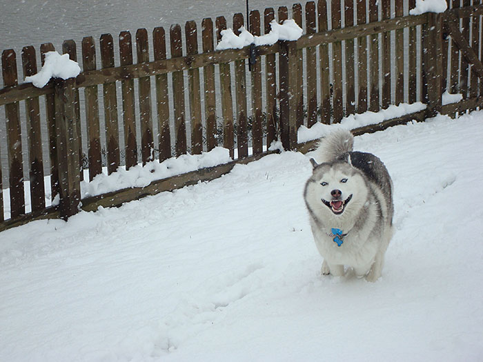 animals-and-first-snow-siberian-husky__700