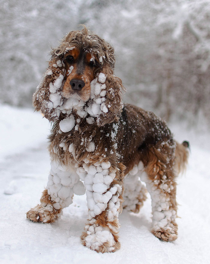 animals-and-first-snow-spaniel1
